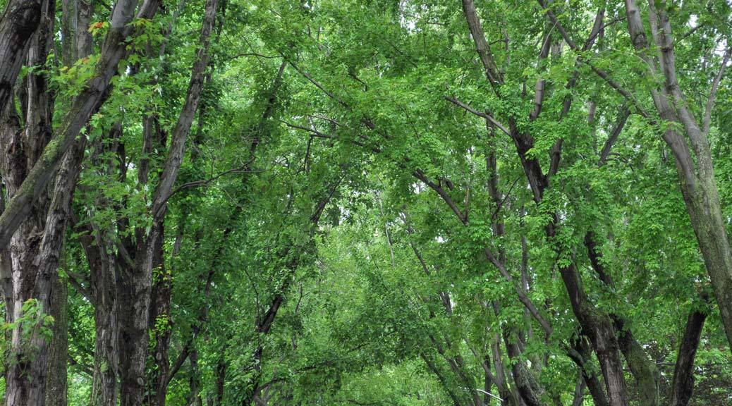 arbres-canopee-guillaume-simard